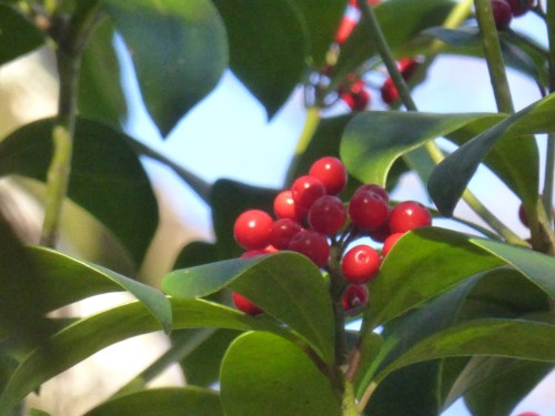 red berries and glossy green leaves