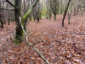 carpet of wet beech leaves