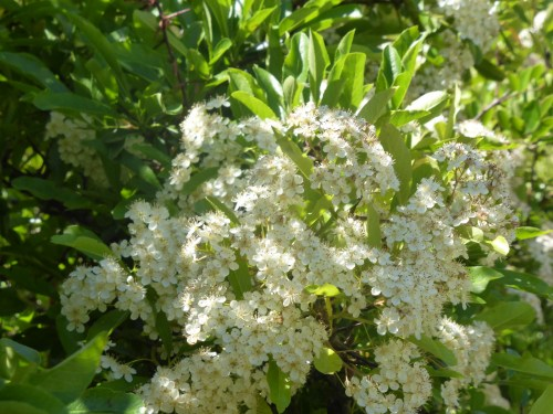 white flowers in hedgerow