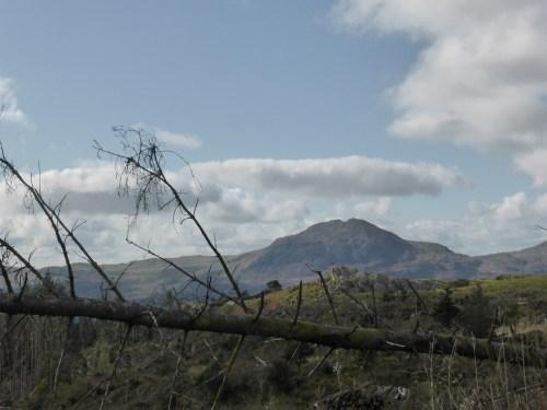 Moel-ddu across dead tree debris