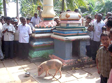 Devoted Pig doing rounds at Balaji Temple.