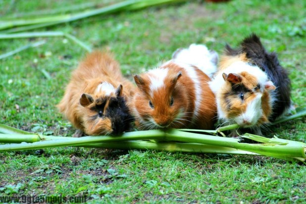How should I keep and care for my guinea pigs?