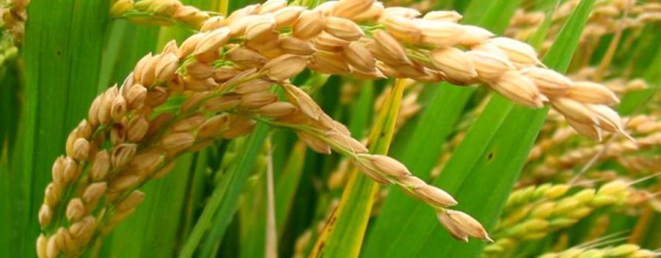 Image result for rice cultivation in nigeria