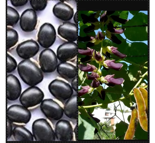 5 Secrets Velvet Beans (Werepe or Devil Beans) you should Know