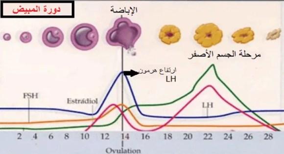دورة المبيض تحت المجهر