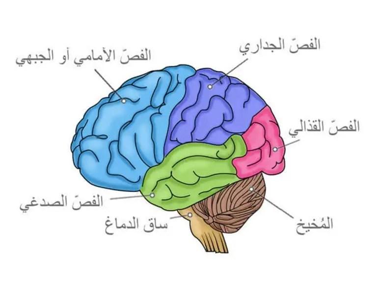 دماغ طفلك