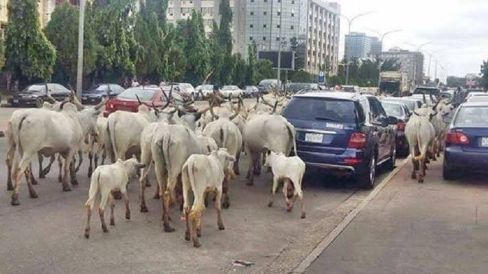 Herdsmen, cows take over CBN Headquarters in Abuja - images