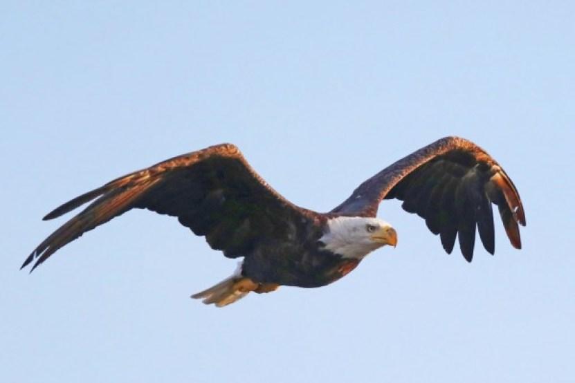 Eagle on long island
