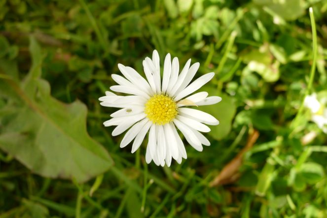 daisycropped