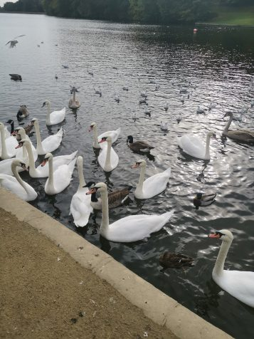 Mate 20 Pro - Swan shot - Image 4