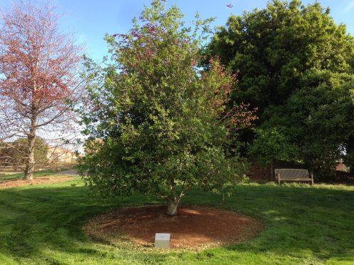 Pixar-Tree-Dedicated-To-Steve-Jobs