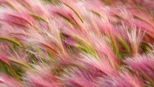 """Foxtail Barley"""