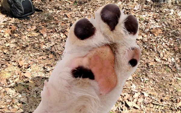 Ways to keep your dog fit and safe on trails in warmer weather. Trim and clip dog's paws and nails. #RememberBeyond