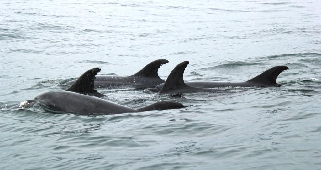 Dolphin Strand Feeding: Remarkable Behavior 1