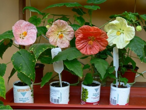 At home, abutilon is grown from seeds