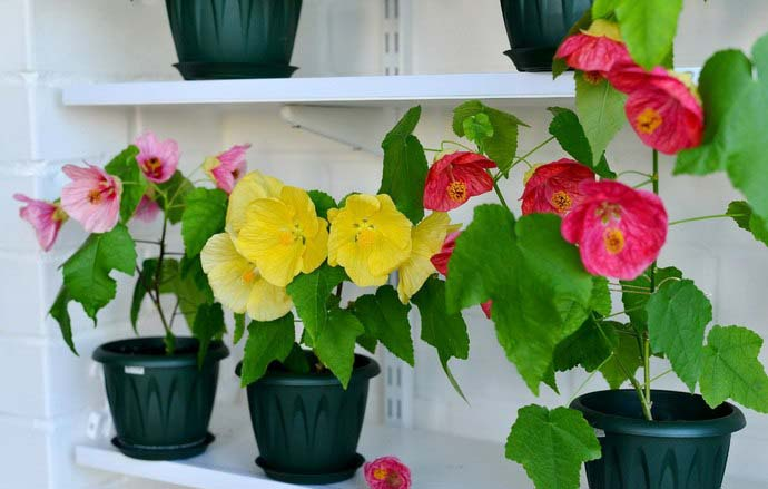 The flower pot with an abutilon should be located on a well-lit or with a slight shading place without drafts