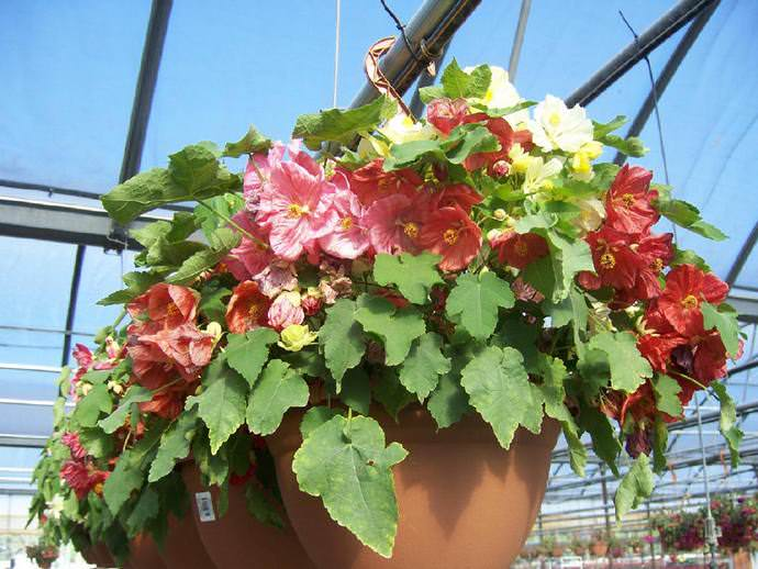 Abutilon Bella is perfectly loved and enters flowering about three months after the appearance of germs