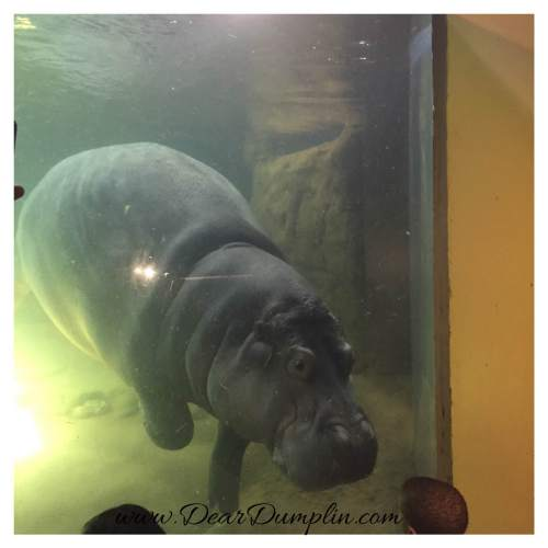 Hippo Time at the Aquarium