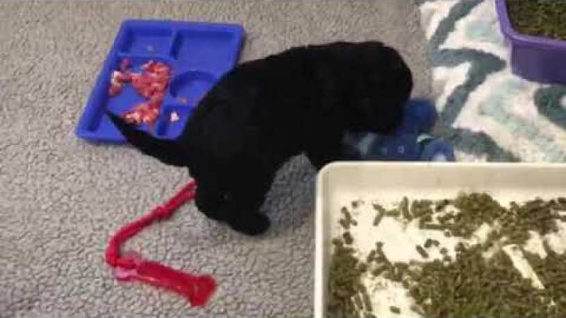 Portuguese Water Dog Puppies Weaned to a Raw Diet