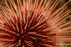 photo: sea urchin by cwilso