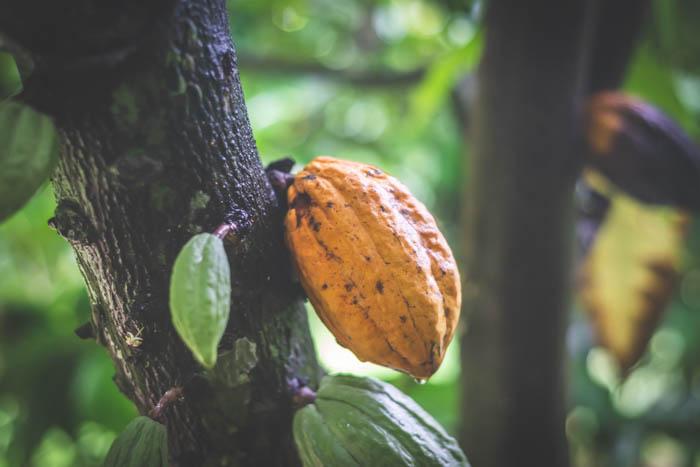 Фрукты какао дерева в Таиланде