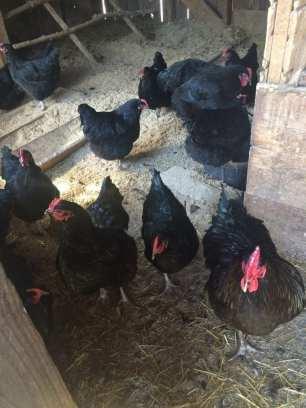 Black Java Chickens
