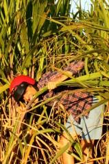 Enjoying Mauritian sugar cane