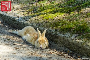 3059_Rabbit Island Japan