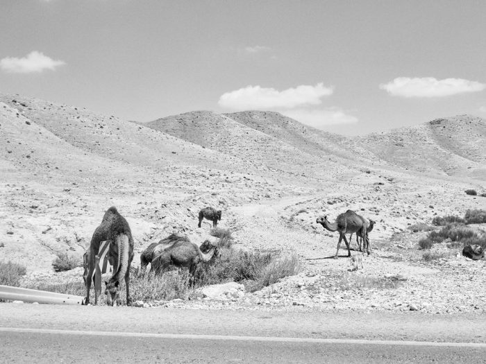 Camels on the road from Arad to the Dead Sea
