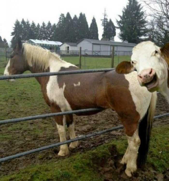 Laughing Cow image