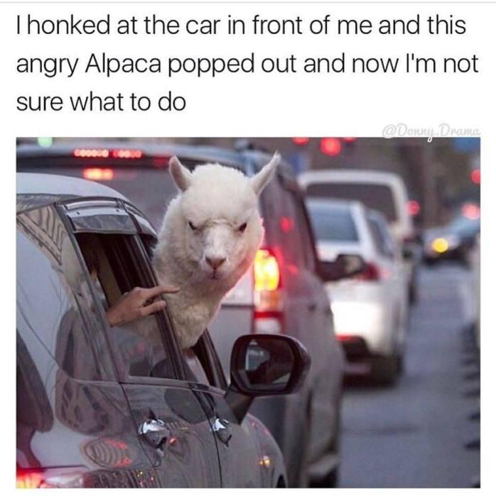 Angry Alpaca