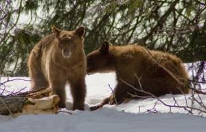 Bear Buddies