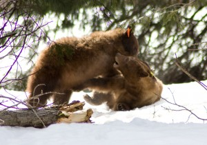 Bears wrestling in the snow