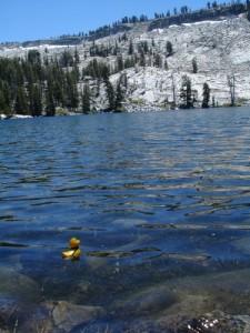 Phil the Adventure Duck swimming in Ostrander Lake