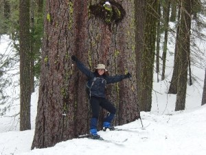 Giant Sugar Pine just inside the Park