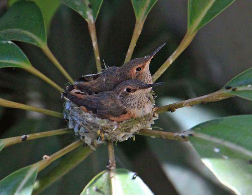 птенцам колибри тесно в гнезде mamaclub.ru