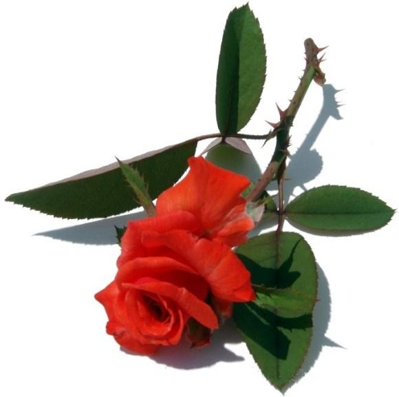 cp0wby2n9dhyn18n.D.0.thorny_rose