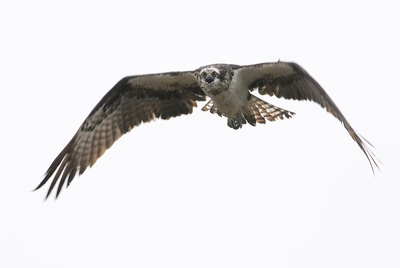 Morris Bennett Altman: Birds &emdash;