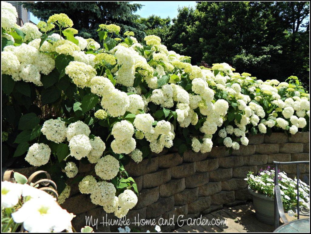 The Garden - Wall of Annabelle Hydrangea on MyHumbleHomeandGarden.com