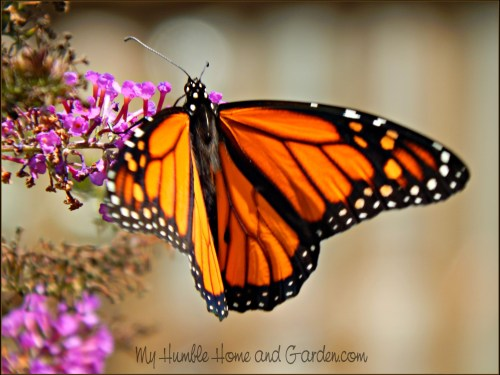 Butterflies, Birds, and Wildlife on MyHumbleHomeandGarden.com