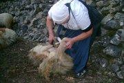 Narodni običaj za obradu vune