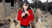 čuvanje ovaca stari poslovi
