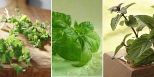 korištenje i ljekovitost začinskog bilja  -foto coolinarka-