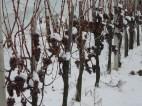 ledena berba vinograd