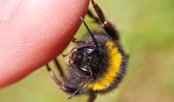 Prirodno lječenje uboda pčele ili ose