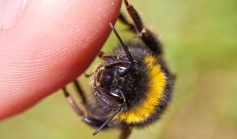 Kako izlječiti ubod pčele ili ose