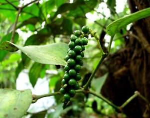 Papar i ljekovita svojstva papra