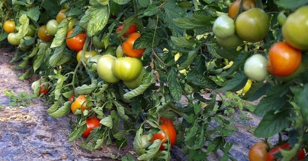 Stiže li nam iz EU zabrana sadnje vlastitih usjeva u vlastitim vrtovima?