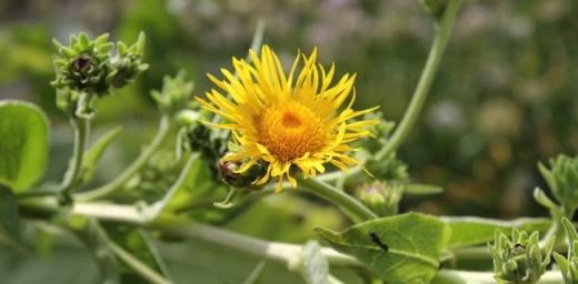 Oman i ljekovita svojstva biljke oman