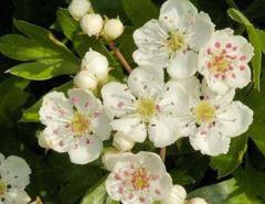 ljekoviti cvijet bijelog gloga